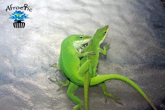 lizards-mating