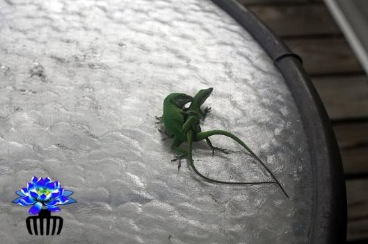 lizards-mating3