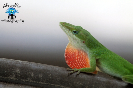 lizards-mating4